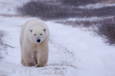 There are also wild animals that live in arctic regions such as polar bears,