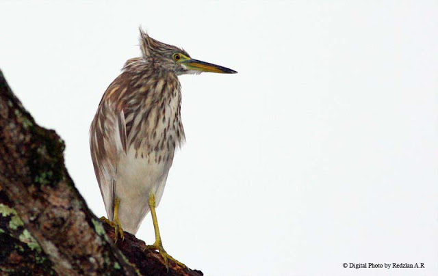 Pond Heron