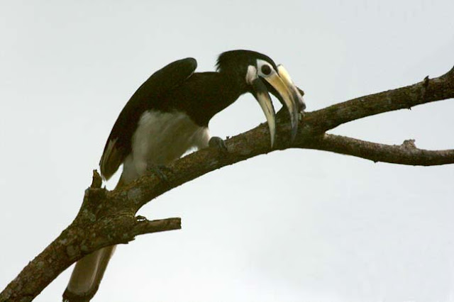 Pied Hornbill - my first shot with 400mm