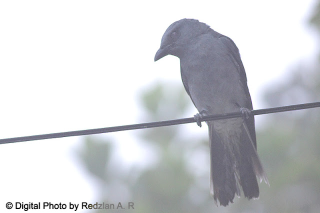 Javan Cuckoo-Shrike