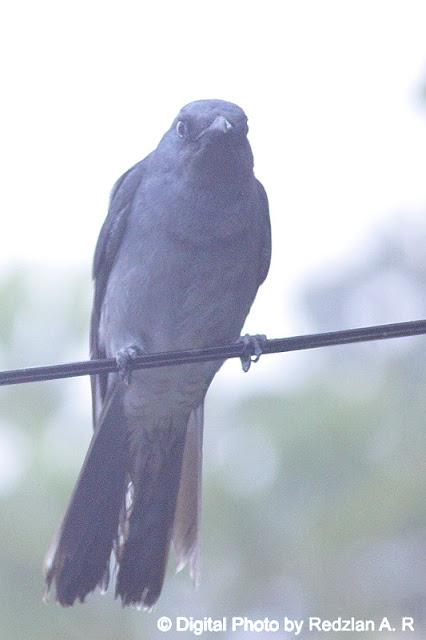 Javan Cuckoo-Shrike (Coracina javensis)