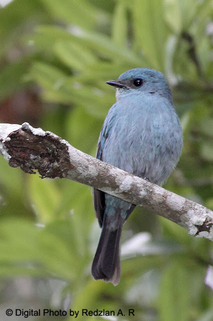 Verditer Flycatcher (Eumyias thalassina)