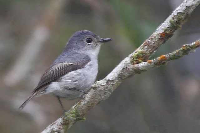 Little Pied Flycatcher - female