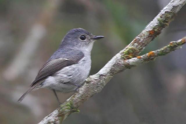 Little Pied Flycatcher - female