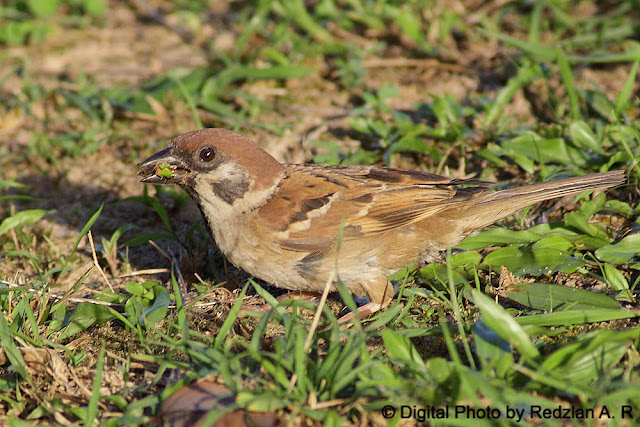 Tree Sparrow with grasshopper meal