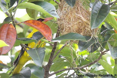 Female Black-naped Oriole checking her nest