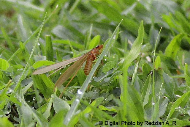 Kelkatu -Termite Swammer