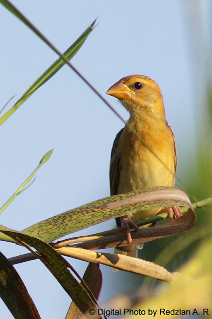 Female Baya Weaver