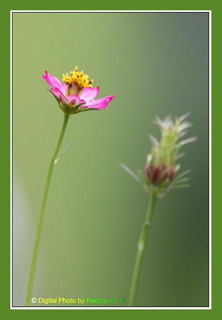 Bunga Ulam Raja (Cosmos caudatus)