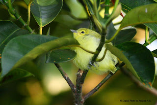 Juvenile Common Iora  - just fledged
