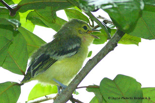 Juvenile Common Iora - in the rain
