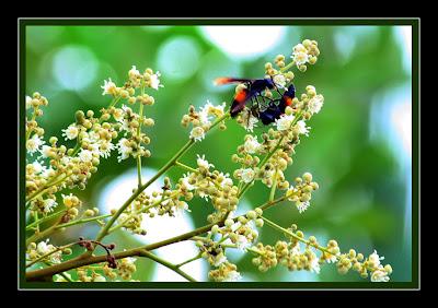 Wasp - Polistes Sagittarius at Longan flowers
