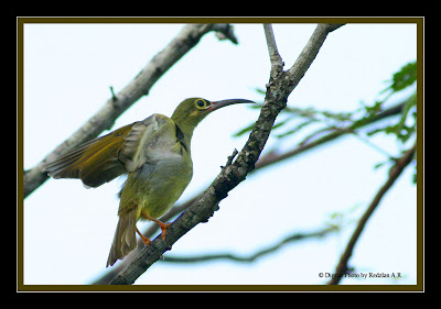 Spectacled Spiderhunter at Petai tree