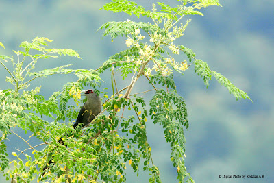 Green-billed Malkoha (Phaenicophaeus tristis) at Moringa Oleifera tree at my backyard at Raub Malaysia