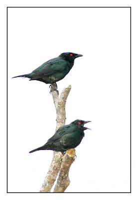 Two Starling resting at dead branch