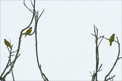 Black-headed Bulbul (Pycnonotus atriceps)  Merbak Siam
