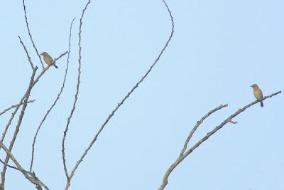 Ciak TempuaBaya Weaver (Ploceus philippinus)