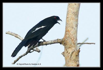 Burung Kambing - Black Magpie at Temerloh