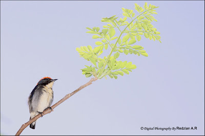Scarlet-backed Flowerpecker (Dicaeum cruentatum)