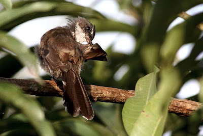 Pied Fantail Rhipidura javanica