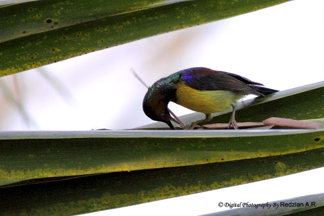 Sunbird feeding behavior