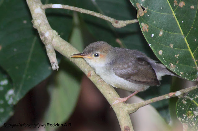 Juvenile Ashy Tailorbird