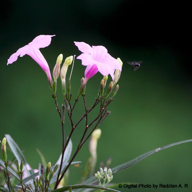 Bunga Pagi
