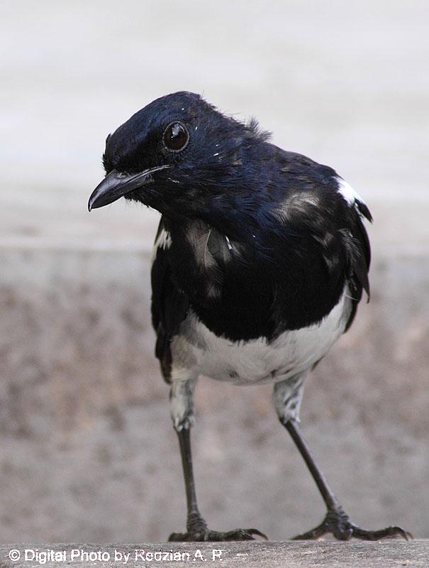 uvenile Magpie Robin - Anak Murai