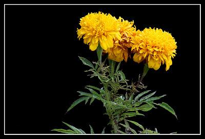 Bunga Tahi Ayam - Yellow Flower