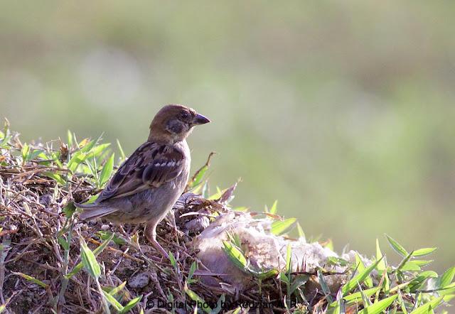 Erasian Tree Sparrow - Paser Montanus
