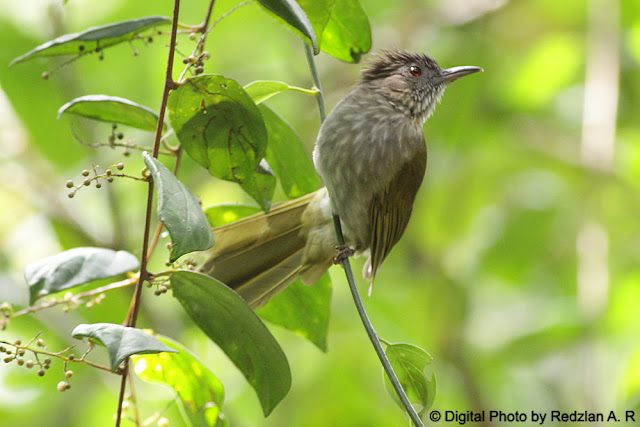 Mountain Bulbul