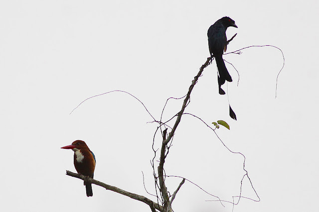 White-throated Kingfisher and Greater Racquet-tailed Drongo
