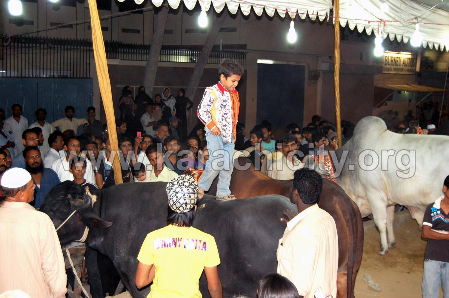 Karachi Big Cow http://pakedu.net/pakistani-education-news/bakra-online-bakra-mandi-online/