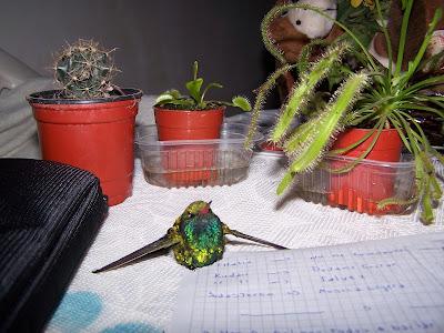 Encontré un Pichón de Colibri! Y lo intenté salvar! :)