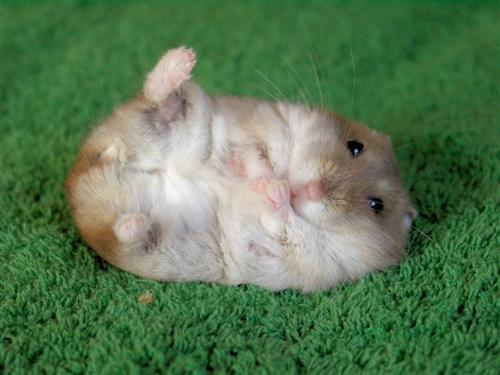gambar hamster lucu