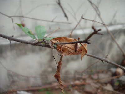 Dried Leaf 1