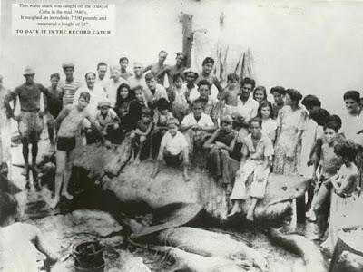 6.5 м длины белая акула, 3 тонны вес.
