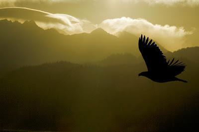 http://4.bp.blogspot.com/_MKBYKCxtwvo/SJuxcezpgSI/AAAAAAAAAng/kbtdicryrvo/s400/Bald-Eagle-yellow-SILH-_H2D4820-Homer,-AK.jpg
