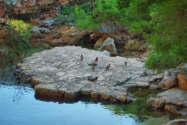 Павлины у Мертвого озера. Локрум. Хорватия