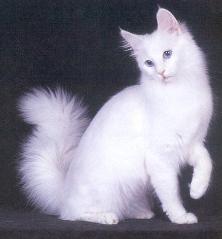 Catlovers: jenis-jenis kucing ras