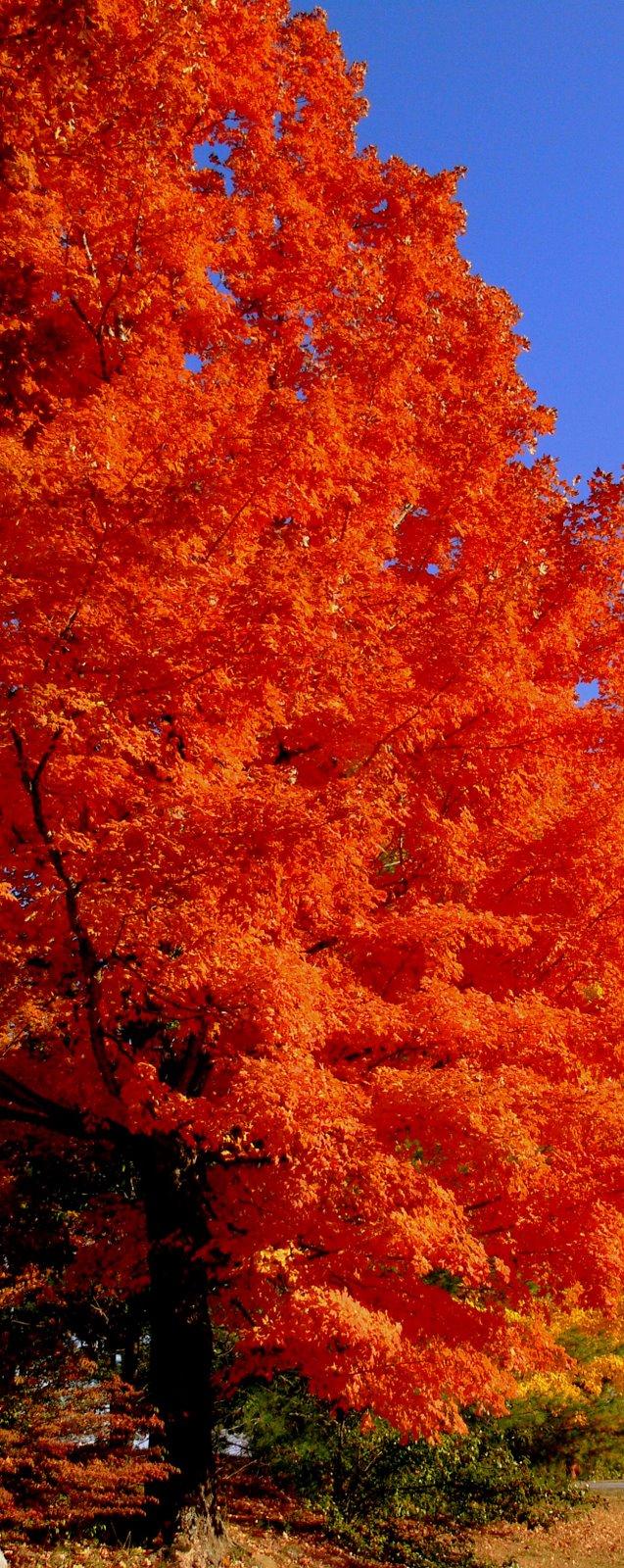[fall+tree.jpg]