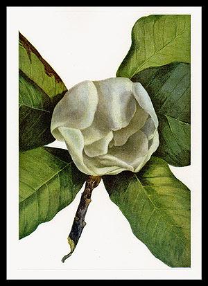 Vintage print of Magnolia