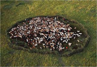 Fotos de Gado perto do Parque Nacional Masai Mara, Kenia
