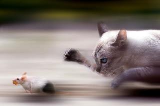 Gato corre atrás de rato