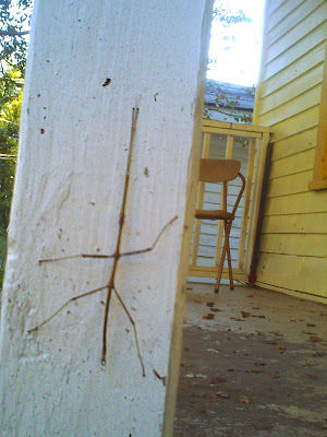 A stick bug that crawled onto our porch