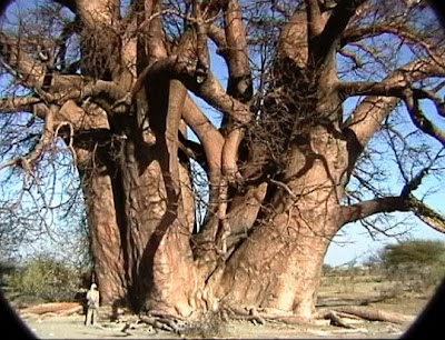 ... the baobabu0027s success in surviving in harsh environments and the reason for its massive trunk is that it has little wood fibre but a large water storage ... & Mysteries And Wonders of People World and Nature: BAOBAB - oldest ...