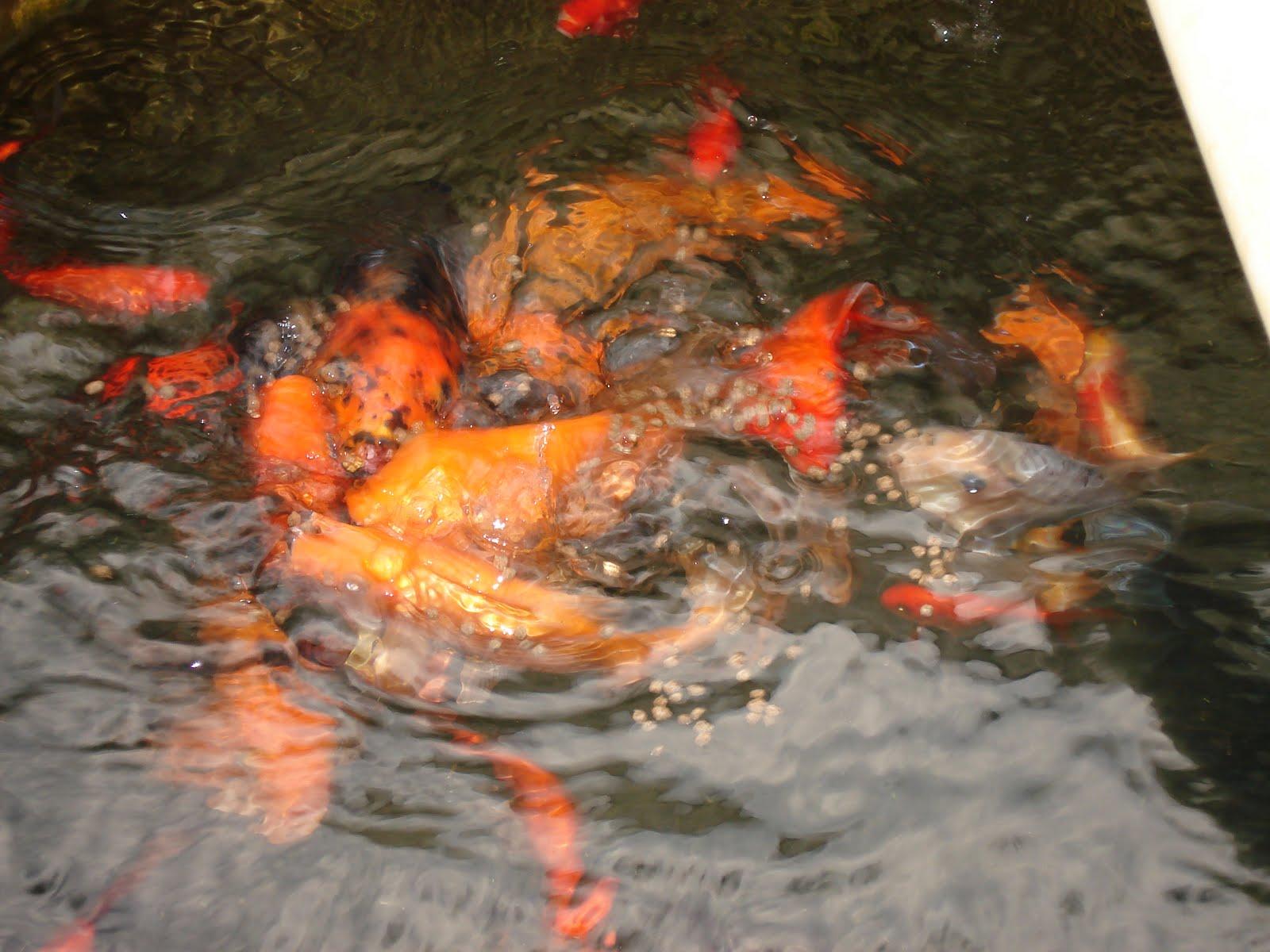 Peces ornamentales koi kois cultivados for Cria de peces ornamentales