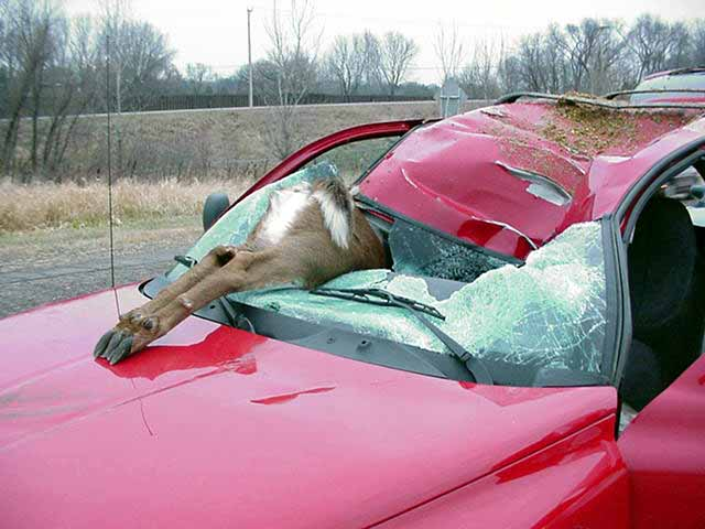 Road Kill Deer