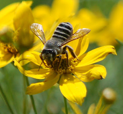 Mason bees provide essential pollination services.