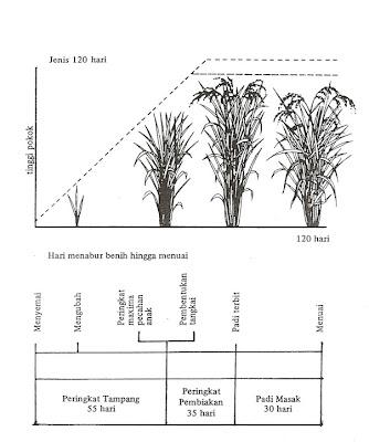 Agricra peringkat pertumbuhan padi peringkat pertumbuhan padi ccuart Choice Image